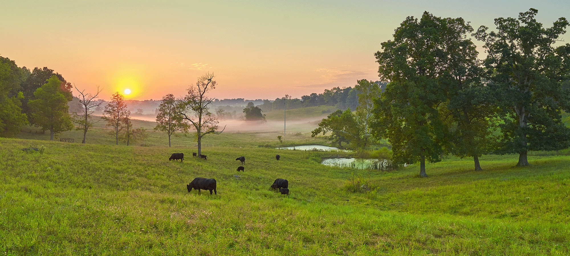 Cows grazing in a green pasture at sunrise